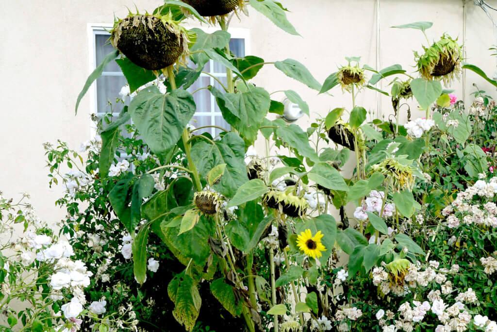sun-flowers-in-torrance_2020