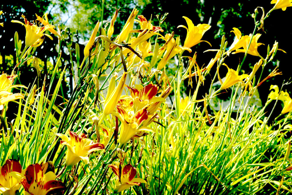 Yellow flowers in Torrance