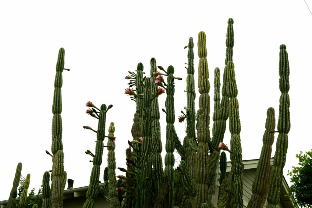 Big cactuses have flowers in California